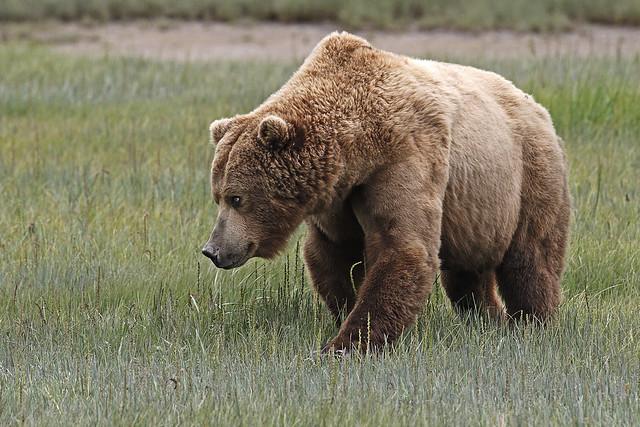 Boss Bear