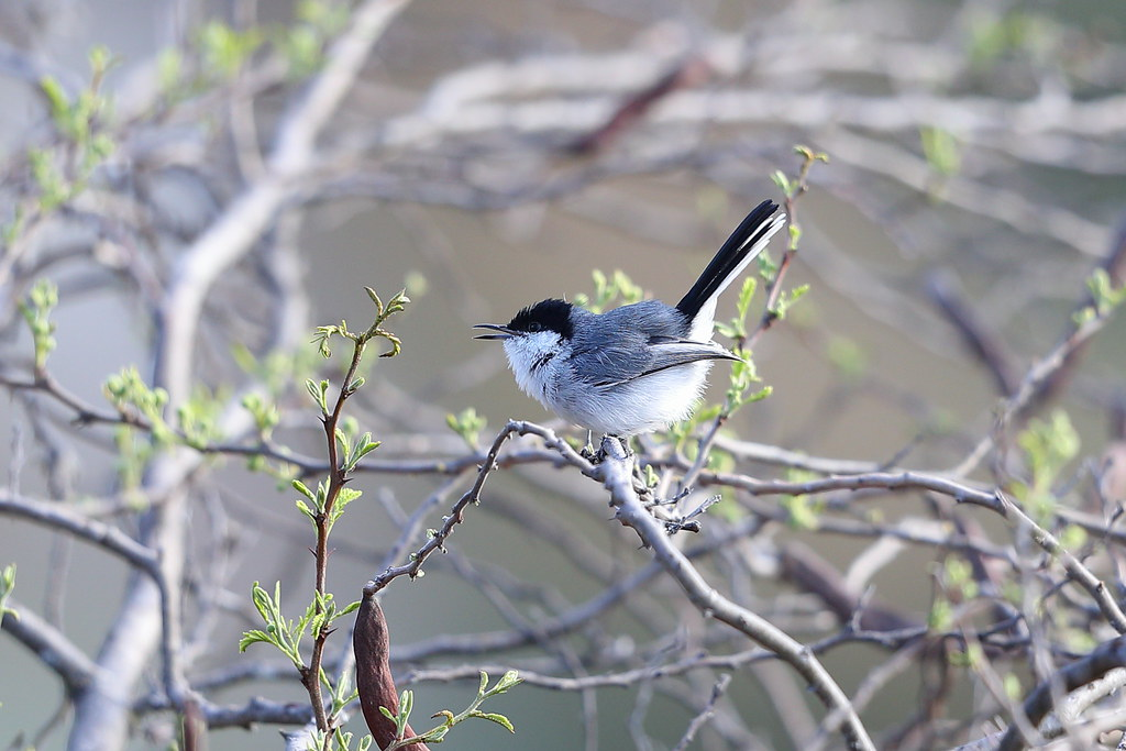 Maranon Gnatcatcher
