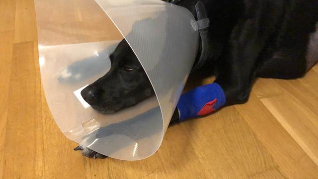 Erschöpfter, verletzter Hund mit Halskrause als Schutzkragen und einem blauen Verband an der Pfote