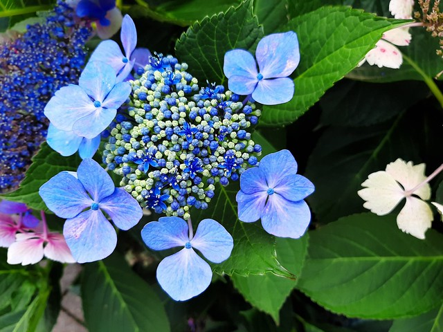 photo fleur bleue
