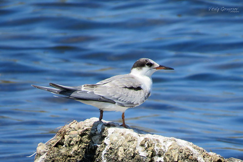 Common tern, juvenile.