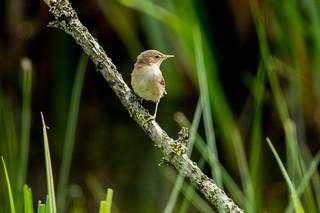 Reed warbler - Acrocephalus scirpaceus _A7A8254