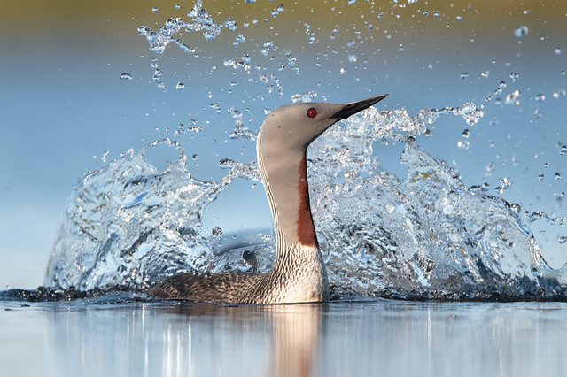 Red-throated Loon Splash - Nome
