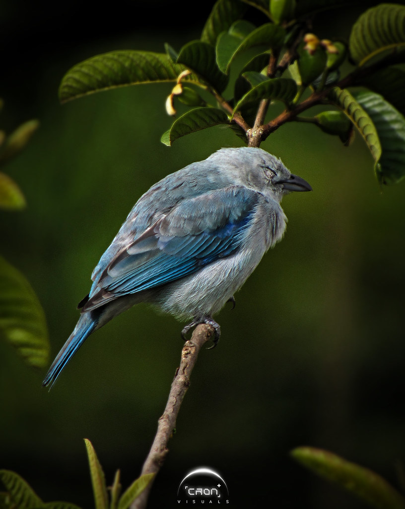 + Tángara Azulada o Azulejo [Thraupis episcopus] / Blue and Gray Tanager
