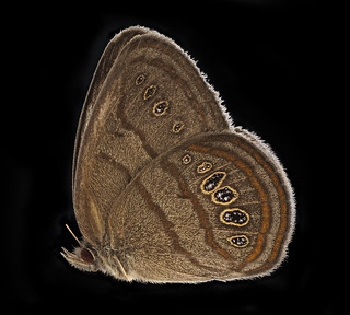 Neonympha mitchelli francisci, side, reared2_2019-08-07-17.21.31 ZS PMax UDR | by Sam Droege