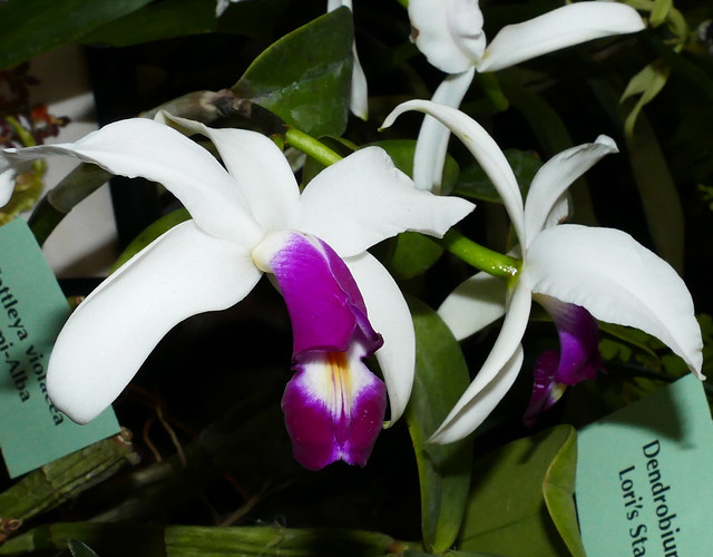 2019 orchids in the park, sfos show & sale, Cattleya violacea semi-alba species orchid