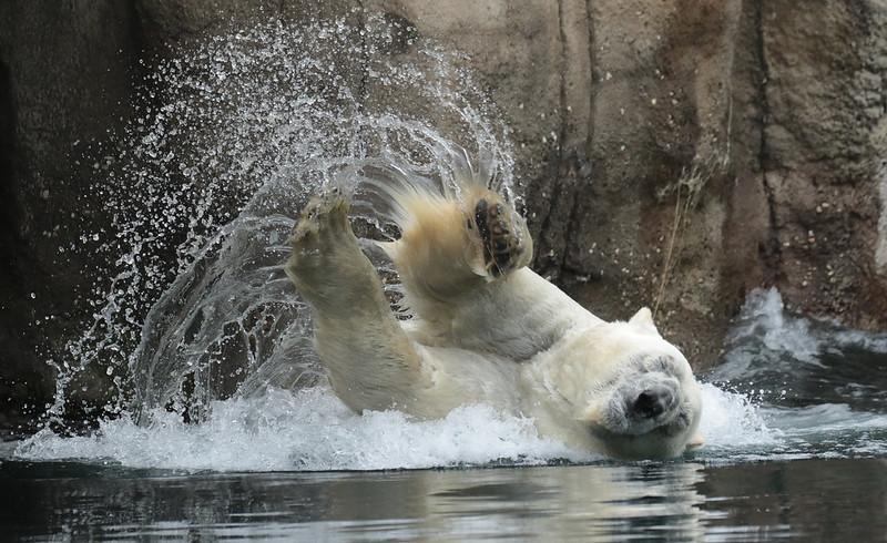 polarbear Wolodja Blijdorp 094A0694