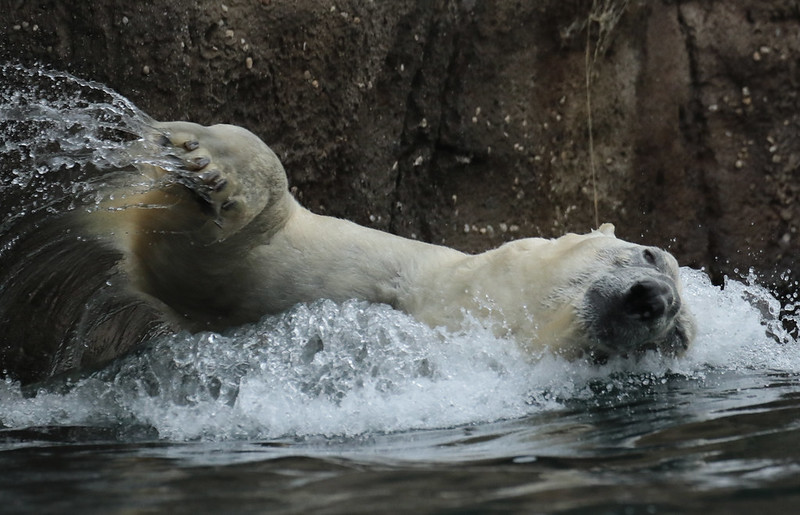 polarbear Wolodja Blijdorp 094A0724