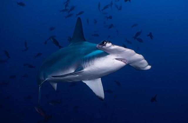 01_P8020052 scalloped hammerhead shark