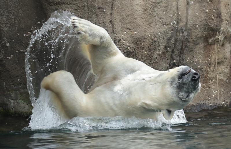 polarbear Wolodja Blijdorp 094A0695