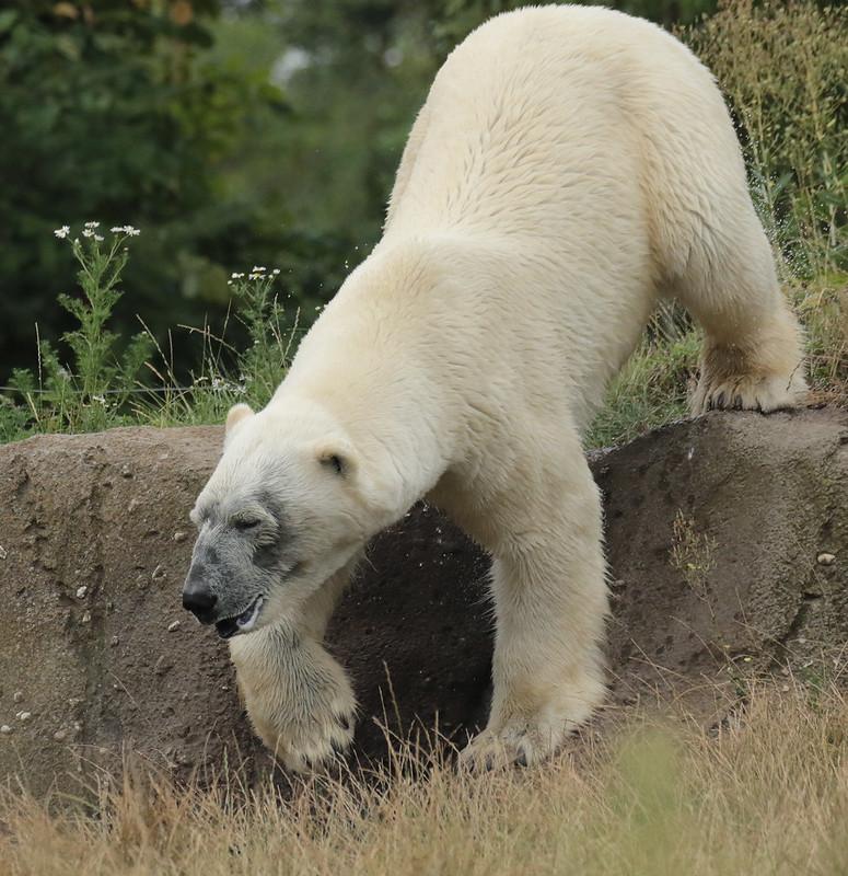 polarbear Wolodja Blijdorp 094A0681