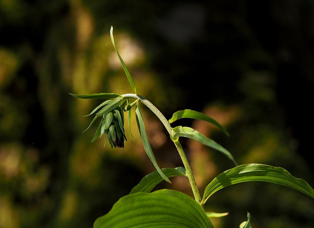 Broad-leaved Helleborine