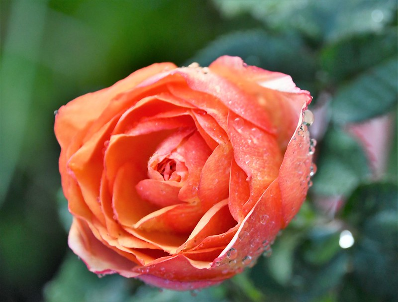 Rose 10.08 (1)
