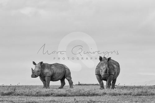 dieren kenia landen whiterhinoceros neushoorn squarelippedrhinoceros solioranch breedlipneushoorn laikipiacounty witteneushoornceratotheriumsimum