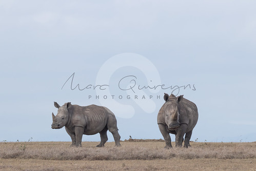 solioranch laikipiacounty dieren landen kenia witteneushoornceratotheriumsimum neushoorn breedlipneushoorn squarelippedrhinoceros whiterhinoceros