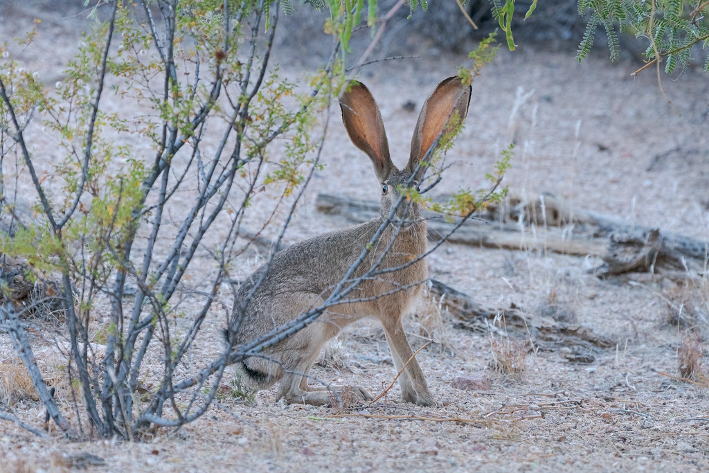 A black-tailed jackrabbit looks at me as it eats behind a sparse bush at the Brown's Ranch Trailhead in McDowell Sonoran Preserve in Scottsdale, Arizona in June 2018