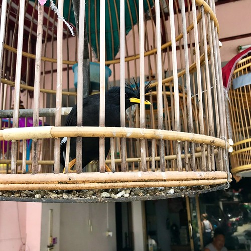 Bird in a cage, Patong