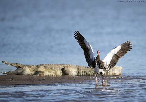 Spur-winged Goose, Plectropterus gambensis, Msuna Fishing resort, Zambezi River, Zimbabwe