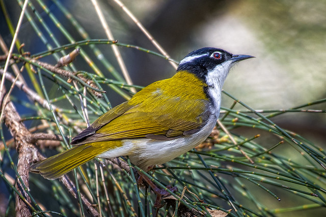 in the sheoak - white-throated honeyreater