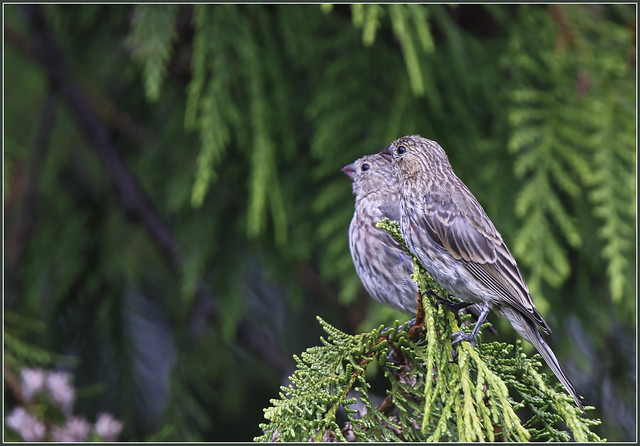 HouseFinches