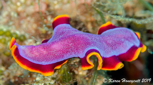Pseudoceros ferrugineus (Polyclad Flatworm) - Central Visayas, Philippines