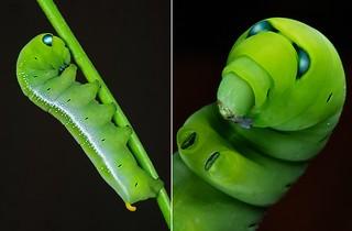 MUGSHOT - Oleander Hawk Moth Caterpillar (Daphnis nerii, Sphingidae)