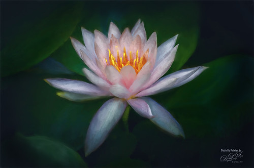 Image of a Water Lily blossom at the National Zoo in Washington, DC