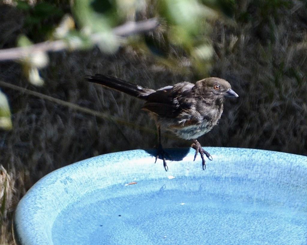 Dawn Chorus: Birdbaths in my Yard