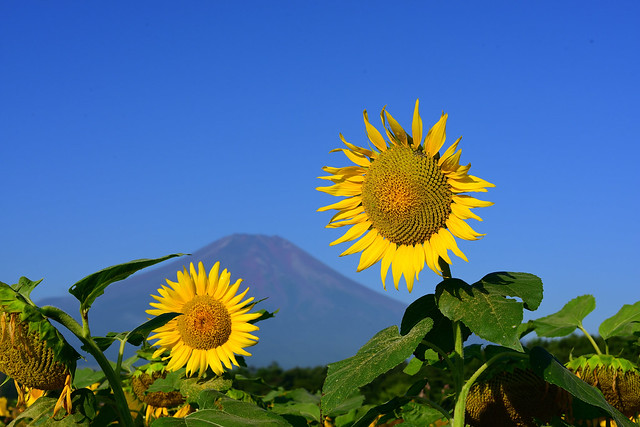 Mt.Fuji and Sunflower field