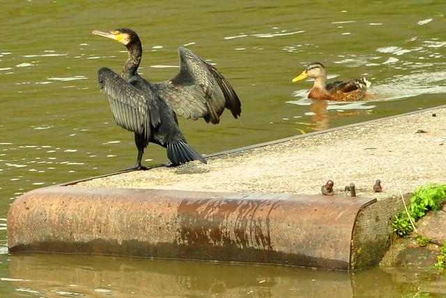 Kormoran trocknet seine nassen Flügel am Neckarufer in Neckarsteinach ... Foto: Brigitte Stolle
