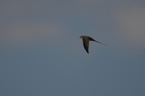 African Palm Swift / Martinet des palmes