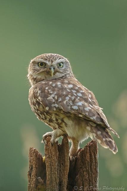 Little Owl ( Athene noctua )