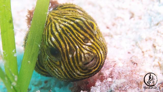 モヨウフグ幼魚
