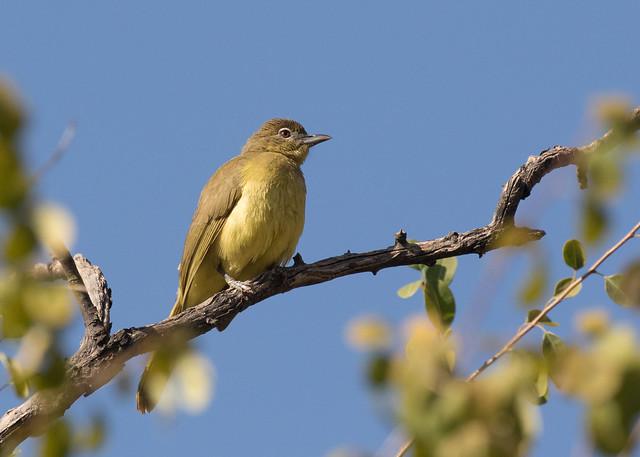 Yellow-bellied Greenbul - Chlorocichla flaviventris