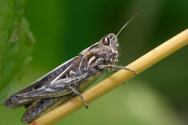 Grasshopper, female (Chorthippus) Back/Slåttergräshoppa