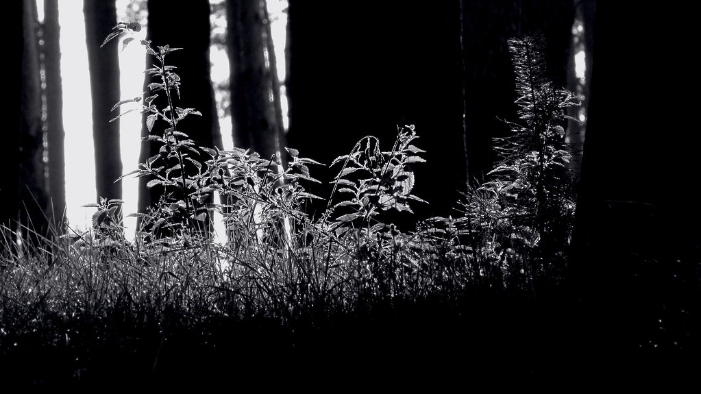 Morning in the forest. Monochrome.