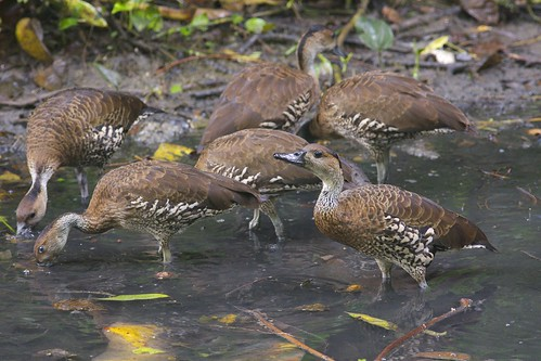 West Indian Whistling Duck (Dendrocygna arborea), Santo Domingo, Dominican Republic