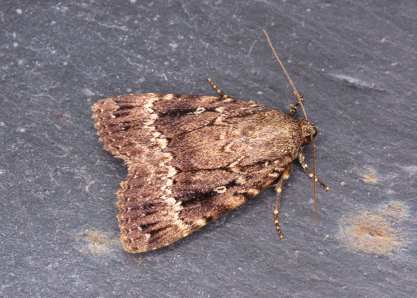 73.062 Copper Underwing - Amphipyra pyramidea