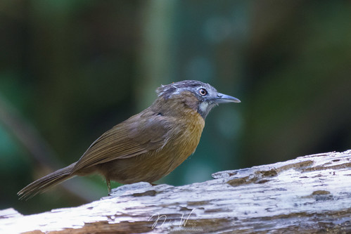 Grey-throated Babbler (Stachyris nigriceps) 黑頭穗鶥