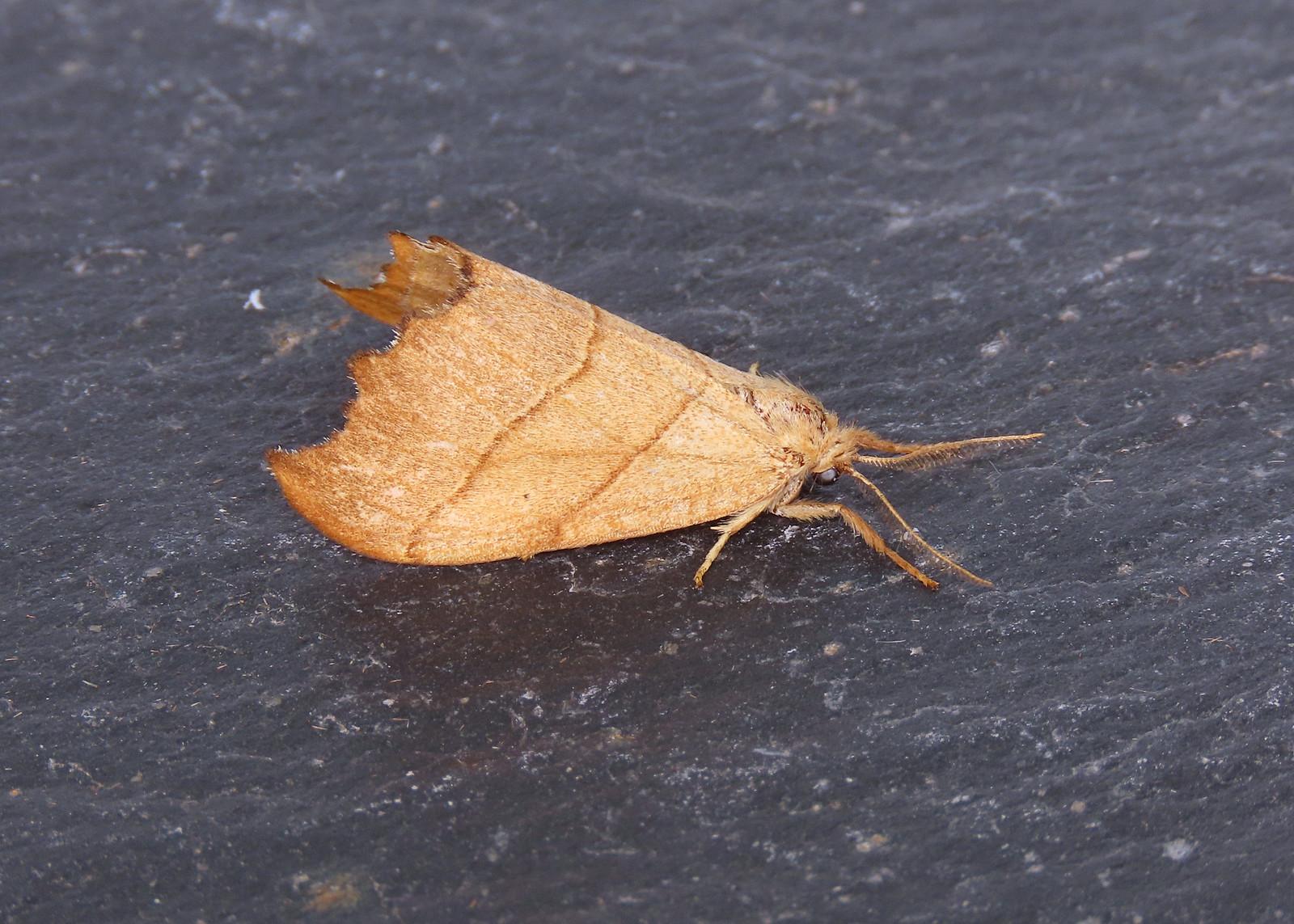 65.001 Scalloped Hook-tip - Falcaria lacertinaria