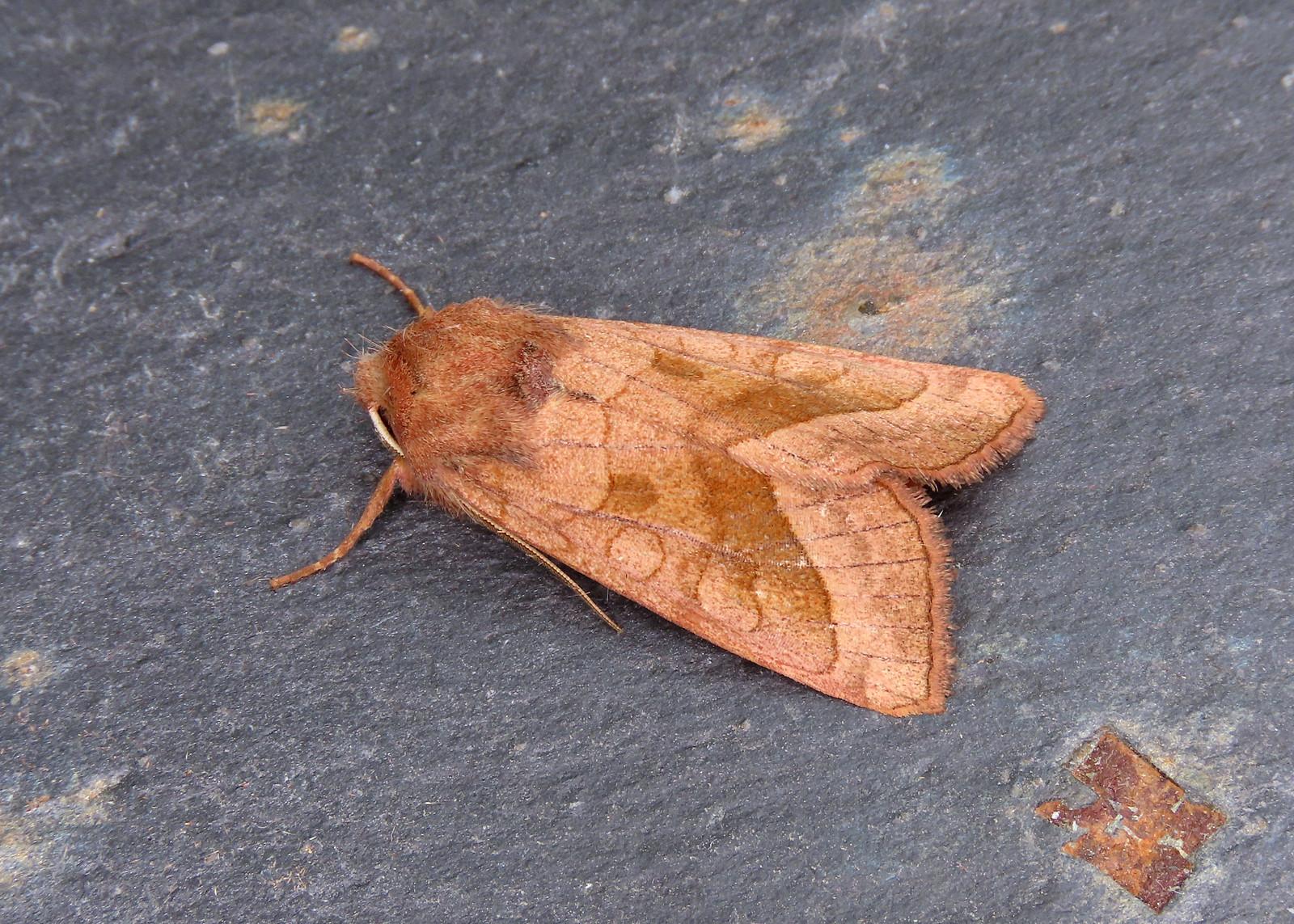 73.123 Rosy Rustic - Hydraecia micacea