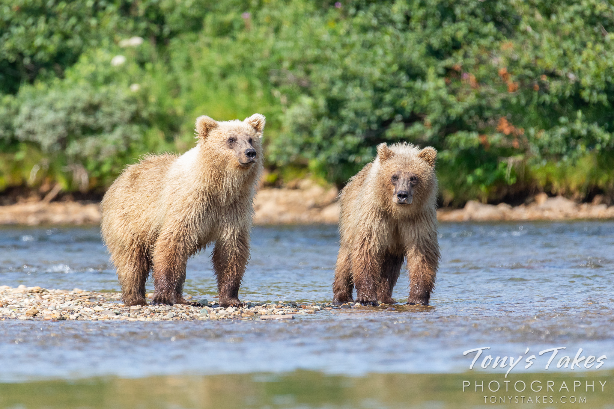 Yearling brown bear cubs wait for their mother to return. (© Tony's Takes)