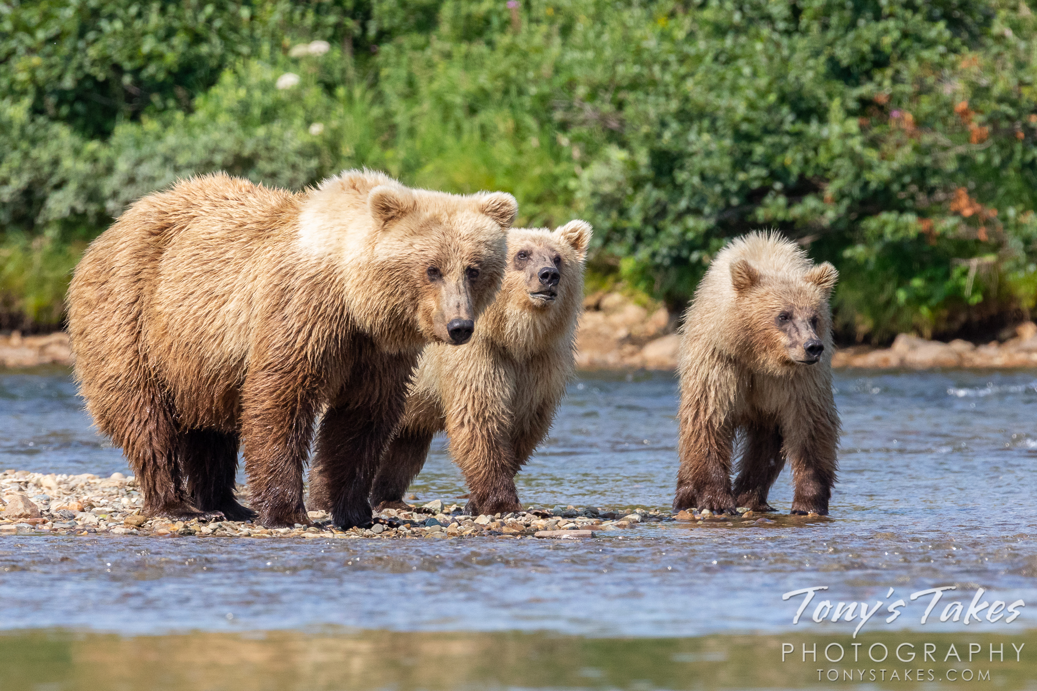 A blonde brown bear sow and her cubs debate the best way to cross the river. (© Tony's Takes)