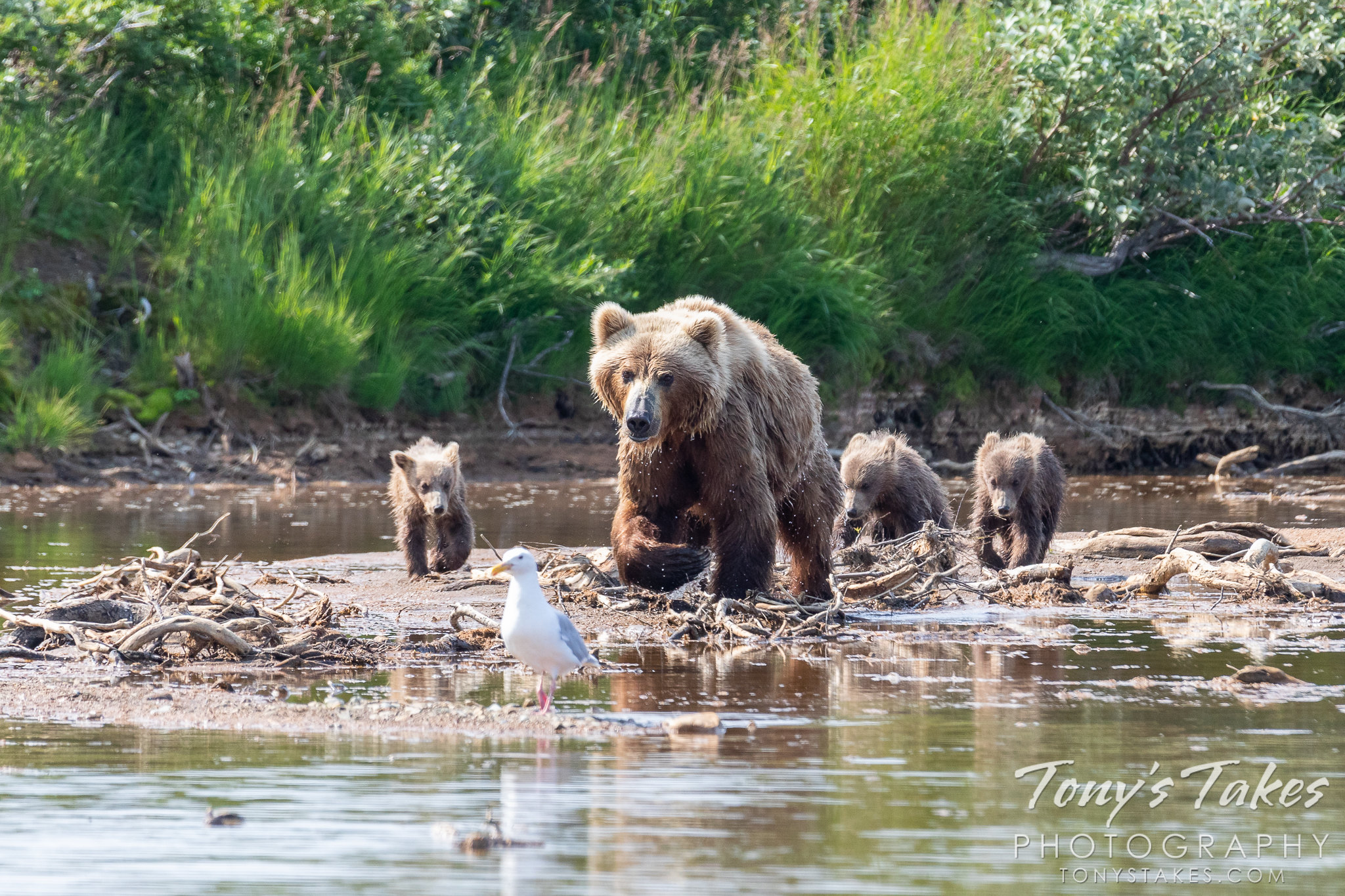 A brown bear sow leads her three cubs in Katmai National Park and Preserve, Alaska. (© Tony's Takes)