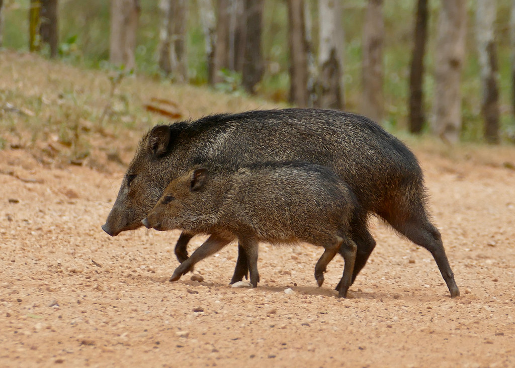 Collared Peccaries (Tayassu tajacu) female and young crossing the road ...