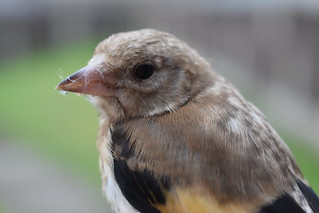 This poor young Goldfinch flew into my window and stunned itself, was right as rain after a few minutes!