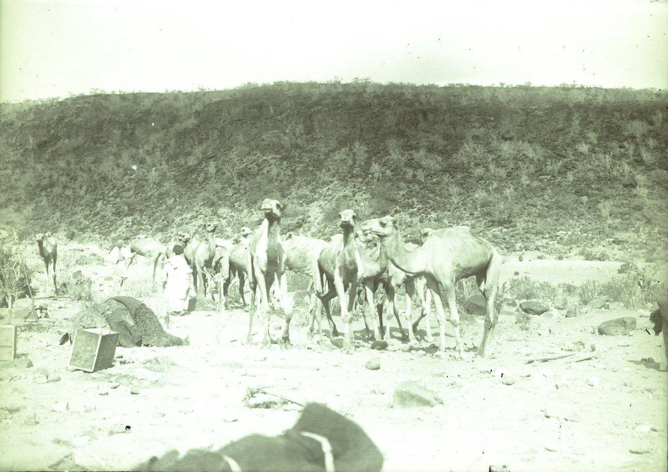 136. В сомалийской пустыне. Биаде (верблюды без поклажи)