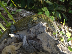 Monitor Lizard with Forked Tongue