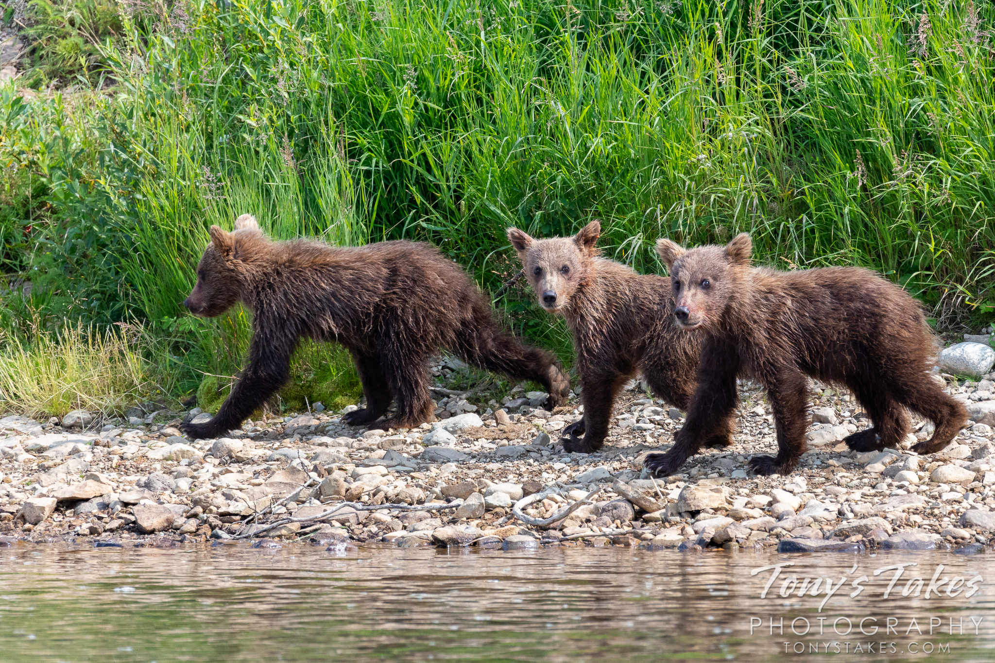 A trio of brown bear cubs walk along a river in Katamai National Park and Preserve in Alaska. (© Tony's Takes)