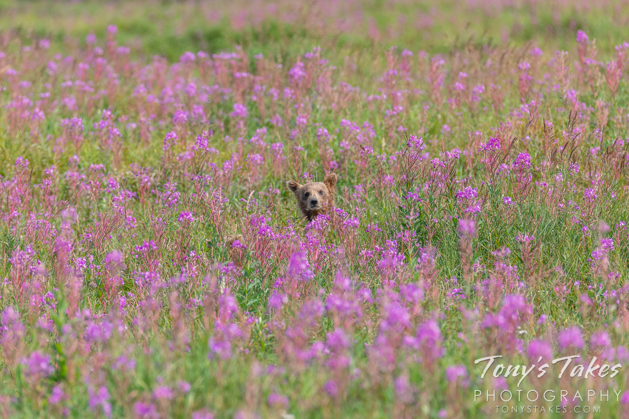 A curious brown bear cub peeks out from the fireweed in Katmai National Park and Preserve. (© Tony's Takes)